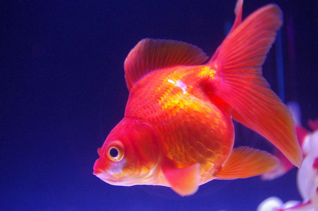 GoldFish2